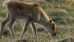 Les femelles de Calibou jouneyed au nord lointain aux veaux et à la nouvelle herbe fraîche de recherche Canada du nord photographie stock libre de droits