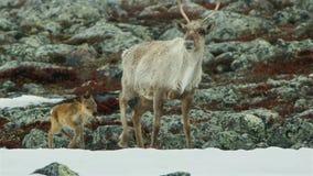Les femelles de Calibou jouneyed au nord lointain aux veaux et à la nouvelle herbe fraîche de recherche La Russie du nord photo stock