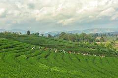 Les femmes de Thaïlande casse des feuilles de thé sur la plantation de thé Photos stock