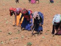 Les femmes indiens tendent de jeunes plantes de tabac Images stock
