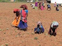 Les femmes indiens tendent de jeunes plantes de tabac Image stock