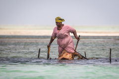 Les femmes locales moissonnant la mer sarclent de l'Océan Indien Images libres de droits