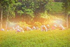 Les femmes rassemblent des feuilles de thé sur la plantation de thé photo libre de droits