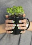 Les femmes remet à des prises la tasse noire avec la petite usine croissante de basilic Image stock