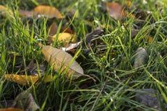 les feuilles étendues de jaune d'herbe verte Photos libres de droits