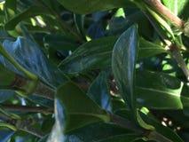 Les feuilles brillantes sont les genoux du ` s d'abeille photographie stock
