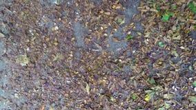 Les feuilles brunes de châtaignes d'automne (chute) volent autour, changement de saison banque de vidéos