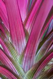 Les feuilles colorées d'une usine de bromélia photos stock
