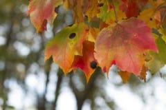 Les feuilles colorées en quelques automnes ont réservé le fond Image stock