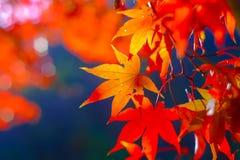 Les feuilles d'érable colorées pendant l'automne assaisonnent au ressortissant de Naejangsan photo stock