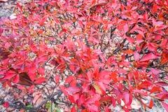 Les feuilles d'arbre se tournent vers le rouge dans la texture d'automne image libre de droits