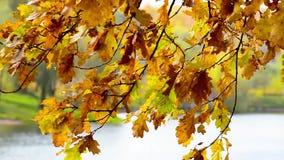Les feuilles d'automne d'or balance dans le vent au-dessus de l'eau banque de vidéos