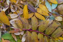 Les feuilles d'automne de la cendre de montagne sont tombées au sol Photo stock