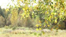 Les feuilles d'automne du bouleau agitent sur le vent banque de vidéos