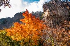 Les feuilles d'automne en Bei Jiu Shui traînent, montagne de Laoshan, Qingdao, Chine Image stock