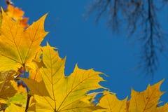 Les feuilles d'automne encadrent le ciel bleu Images stock