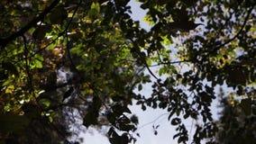 Les feuilles d'automne oranges et vertes tombe des arbres banque de vidéos