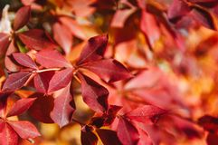 Les feuilles d'automne rouges colorées se ferment, Narita, Japon Image libre de droits