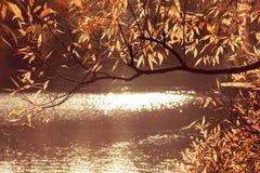 Les feuilles d'automne sur des rayons du soleil de branches d'arbre brillent dans la beauté naturelle de matin d'étang photo stock
