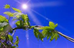 Les feuilles d'houblon Photo libre de droits
