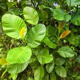 Les feuilles d'un arbre de gomme sauvage Photo stock