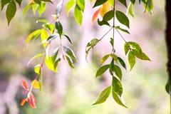 Les feuilles d'une branche de cerisier image libre de droits