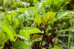 Les feuilles de betterave se développent dans le jardin Photos stock