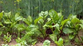 Les feuilles de betterave se développent dans le jardin Photo stock