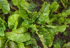 Les feuilles de betterave se développent dans le jardin Vue supérieure Photographie stock
