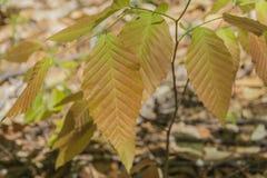 Les feuilles de châtaigne montrent leurs couleurs vraies Photos libres de droits