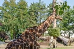 Les feuilles de girafe dans le zoo de Wroclaw Deux zèbres sur le backgro photographie stock