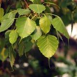 Les feuilles de l'arbre de Bodhi Photos libres de droits