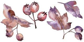 Les feuilles de l'aubépine dans une aquarelle dénomment d'isolement Images stock
