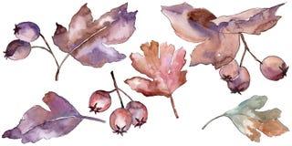 Les feuilles de l'aubépine dans une aquarelle dénomment d'isolement Photos libres de droits