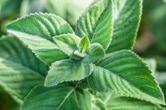 Les feuilles de la menthe de citron Photographie stock