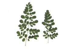 Les feuilles de Moringa ont les propriétés médicinales d'isolement sur le fond blanc image libre de droits