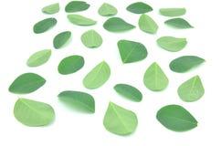 Les feuilles de Moringa sont les herbes vertes photographie stock libre de droits