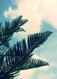 Les feuilles de pin Photo libre de droits