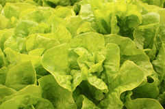 Les feuilles de salade Photo stock
