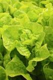 Les feuilles de salade Images stock