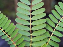 Les feuilles de Sesban Photo stock