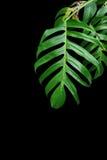 Les feuilles de vert de Monstera plantent l'élevage dans sauvage, le tropical pour Photos stock