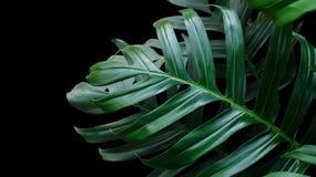 Les feuilles de vert de Monstera plantent l'élevage dans sauvage, le tropical pour Image libre de droits