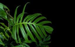 Les feuilles de vert de Monstera plantent l'élevage dans sauvage, le tropical pour Photographie stock libre de droits