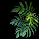 Les feuilles de vert du philodendron de Monstera plantent l'élevage dans sauvage, Photographie stock