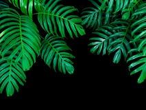 Les feuilles de vert du philodendron de Monstera plantent l'élevage dans sauvage, Image libre de droits