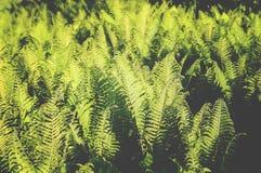 Les feuilles de vert de la fougère plantent l'élevage au ressort dans le jardin Photos libres de droits