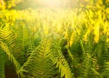Les feuilles de vert de la fougère plantent l'élevage dans le jardin Photo stock
