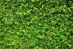 Les feuilles de vert de lierre ont couvert le mur fond de barrière naturelle d'arbre photos libres de droits