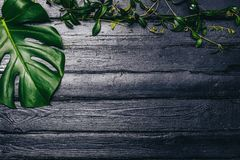 Les feuilles de vert de Monstera plantent l'élevage dans sauvage, l'usine tropicale de forêt sur le fond noir Image de vue supéri Photo libre de droits